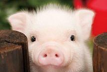 Piggy XD