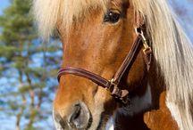 Hrimfaxi från Flottatjärn / www.tuulensillantalli.fi