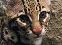 Katachtigen / Bekijk uitgebreide uitleg over verschillende katachtigen via: http://www.animalsunited.nl/alle-dieren/zoogdieren/katachtigen/