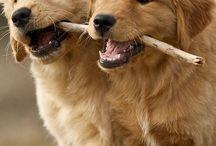 Golden dog's