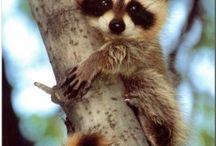 Raccoons !!!