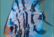 Discus / Akvaryum Balıkları