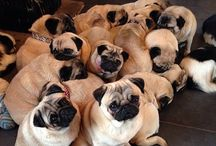 """PUGS GALORE / AWWW, MY MOST FAVE POOCH!! I absolutely love and adore pugs!! The ironic thing about that is: I do not own one nor have I ever even had the pleasure of seeing one in person!! But, I want one really bad!!! LOL  So, until that can happen, I will continue to collect pics and join FB groups and sites that promote PUGS just to get the chance to be close to them! Update: Have seen a few being walked by their owners in Sint Maarten on the boardwalk and  one named """"Olive"""" in Anguilla!! I STILL WANT ONE!"""