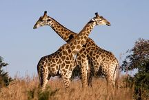 I heart giraffes / by Colleen Moore