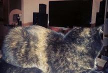Tortoiseshell cat Oishi / My little fatty Oishi. A tortoiseshell cat with an exotic short hair mother.