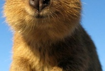 Quokka! / My new obsession  / by Jordan Strack