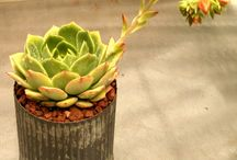 Succulents / Rocket Farms' succulents are ideal, for gifting, decorating, and getting creative!