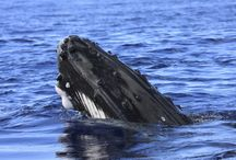 Song of the Deep: Whale Watching / Once on the brink of extinction from hunters, humpback whales are now in greater numbers and in much safer waters. Cassuruba Reserve in Caravelas, Bahia, Brazil— a huge conservation unit that successfully saved one of the world's most important coral reefs from destruction.