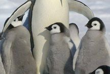 Pingwiny!