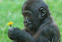 g o r i l l a s / csuda érdekes egy állat!