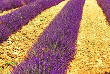 Photography / Lavender field