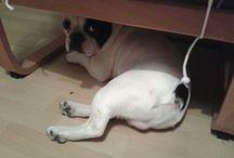 Carlos / my french bulldog Carlos :*