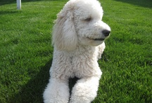 Of kids and dogs  / Oh, I love Goldendoodles.  My Pax is 2 and I like him fluffy.