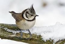 vogels uit Nederland / Nederlandse vogels