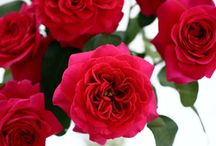 "Tambuzi Rose Anthology / Our gorgeous selection of roses, what we like to call our ""Rose Anthology""."