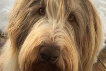 Bearded Collie / Dog