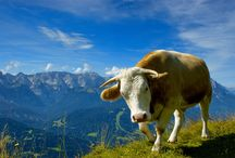 Jersey Cattle Cow Photo Download   Famous HD Wallpaper