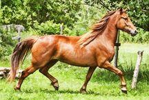 Horse - Лошади Нового Света и колоний
