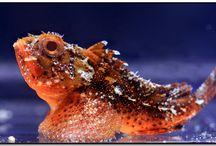 All Things that Sting! / Lionfish, Scorpionfish, Waspfish and Stonefish around the world.