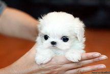 Micro tea cup dog