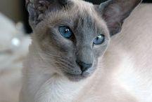 Katt - Siameser