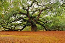 Amazing Trees / Some trees have old souls and a forceful precense.