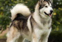 slædehunde
