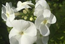 Kukkasia / Oma piha