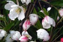 Flowering Crabapples