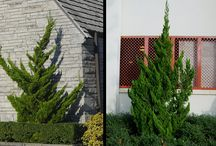 Juniper / Shrubs