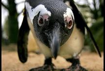 Pingù
