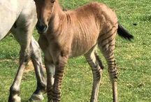 Equine Hybrids