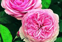 Roses for love and compassion