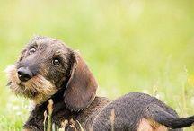 I <3 dachshunds