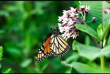 Monarch Butterfly / Films on monarch butterfly. Join Films Nature web TV on Youtube to see web series on wildlife.