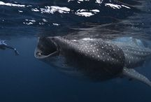 Diver Almost Gets Swallowed Up By a Whale Shark / Diver Almost Gets Swallowed Up By a Whale Shark