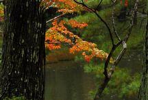 * Japanese Maples *