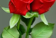 Roses for Couple