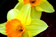 ✿⊱╮Delightful D.A.F.F.O.D.I.L.S. / I LOVE YELLOW - especially in the spring!  What a day brightener!  Daffodils are DELIGHTFUL! / by Carol Hardin