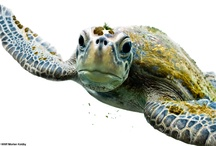 Sea Turtles / because we are based in the Lowcountry, we have to have a board dedicated to sea turtles!
