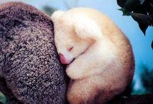 Koala & Panda / k