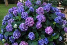 Hidrangea in my garden / Flowers