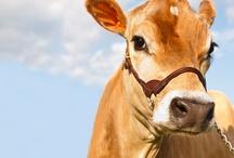 Koeien / Koe