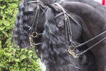 Konie / Konie ich rasy, zdjęcia i ciekawostki. Koń arabski, fryzyjski, pociągowy. Sporty konne.
