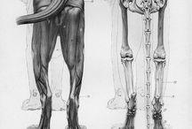 Anatomie ANIMALE