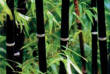 Bamboo / Bamboo can add structure, interest and movement to a garden.