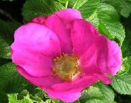 Rosiers rugueux (Rosa rugosa) / Ce sont des rosiers très rustiques et vigoureux, typiques avec leurs grandes feuilles gaufrées, assumant de superbes couleurs d'automne. Les rameaux sont fortement aiguillonnés. La floraison est souvent remontante, les fleurs divinement parfumées donnent naissance à de gros fruits, des cynorhodons fort décoratifs pour peu que les fleurs fanées ne soient pas supprimées.