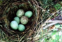 Nest+birds