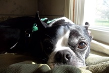 For the Love of Boston Terriers / I love Bostons! / by Buster Boo