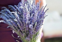 Lavender~one of the most popular herbs